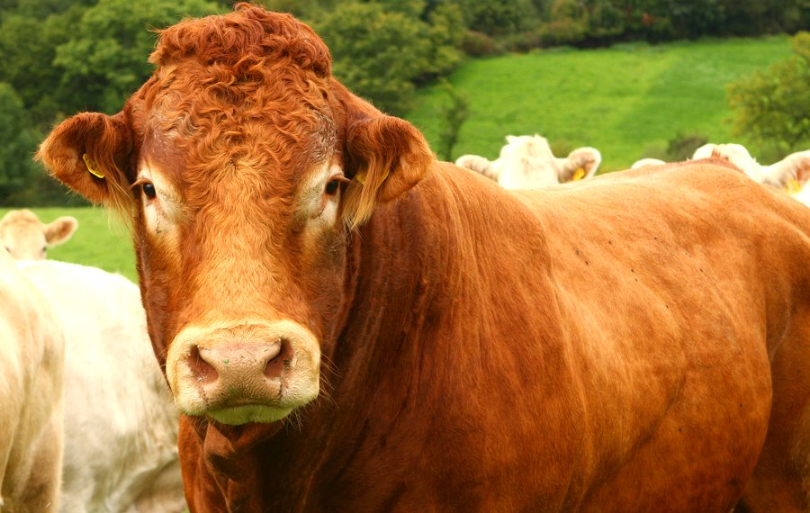This bull and his ladies lived a fence away from us at our last house. I've stroked his nose once or twice.