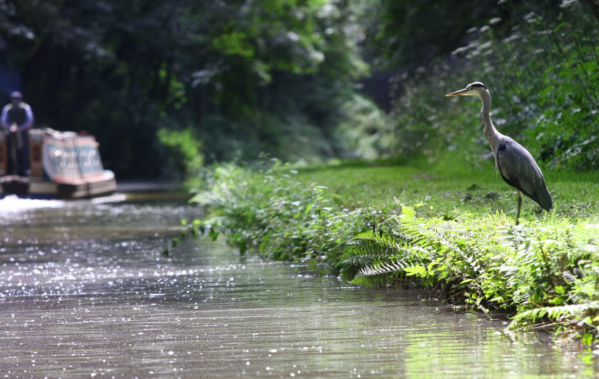 Herons know exactly where to fish on the canals. They are good indicators for fishermen.