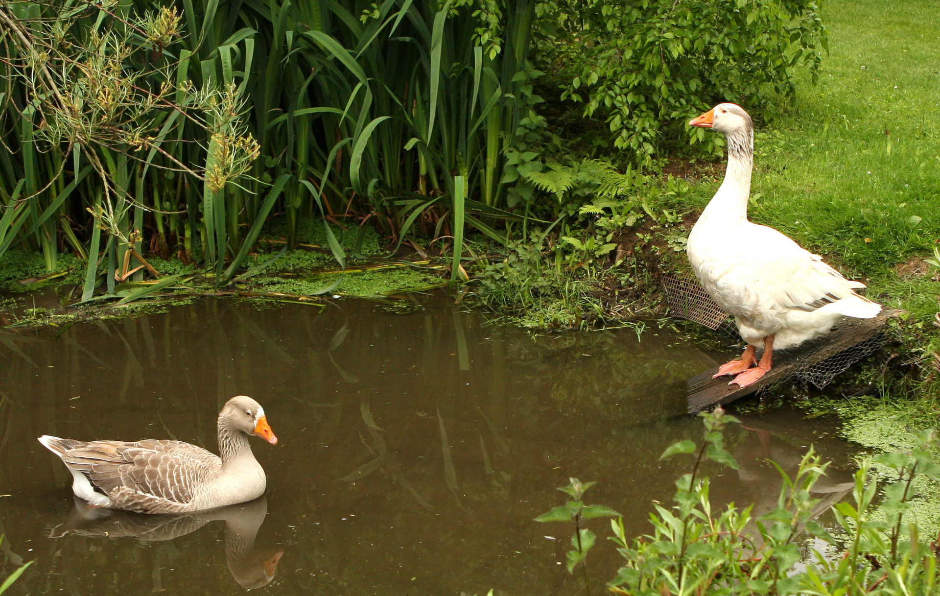 A greylag couple at the Mythic Gardens. Ideal watchdogs.