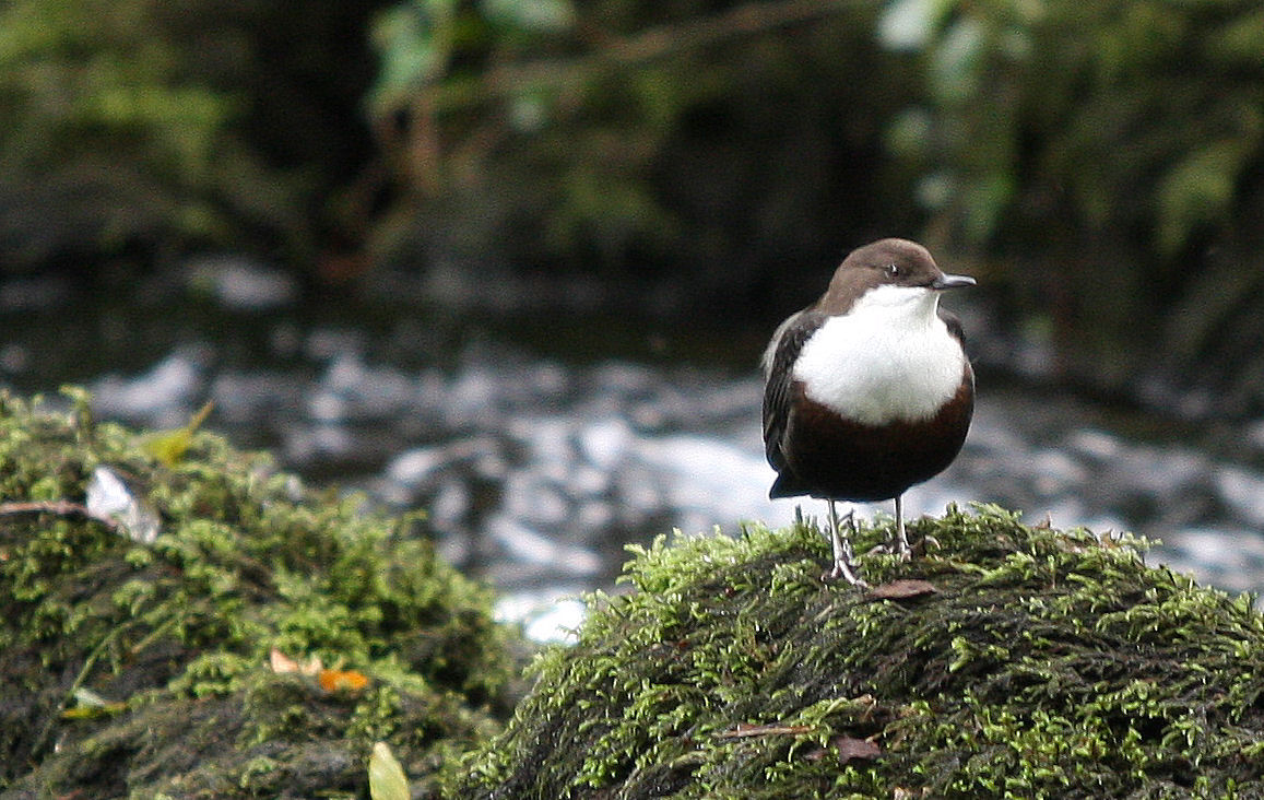 A dipper on the river Teign. Fast flight up and down the river, then bobs up and down constantly.