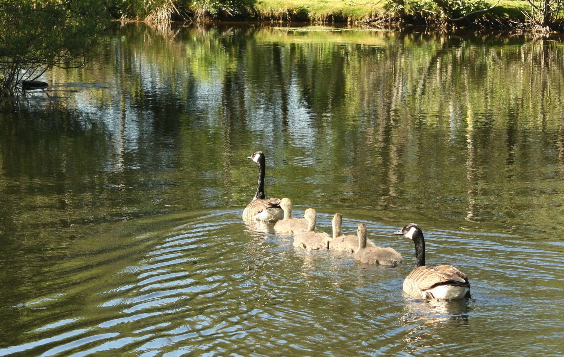 Canada Geese. You'd think they were on their way to Sunday School wouldn't you ?