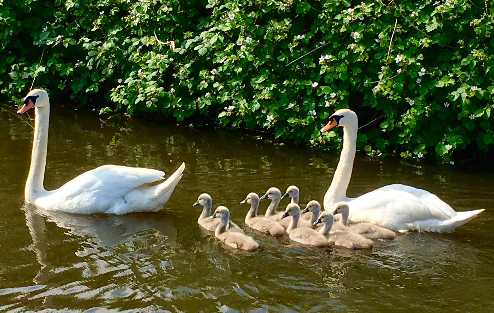 """Nine cygnets. All coming along nicely. """"watch out for the fox , or else.."""""""