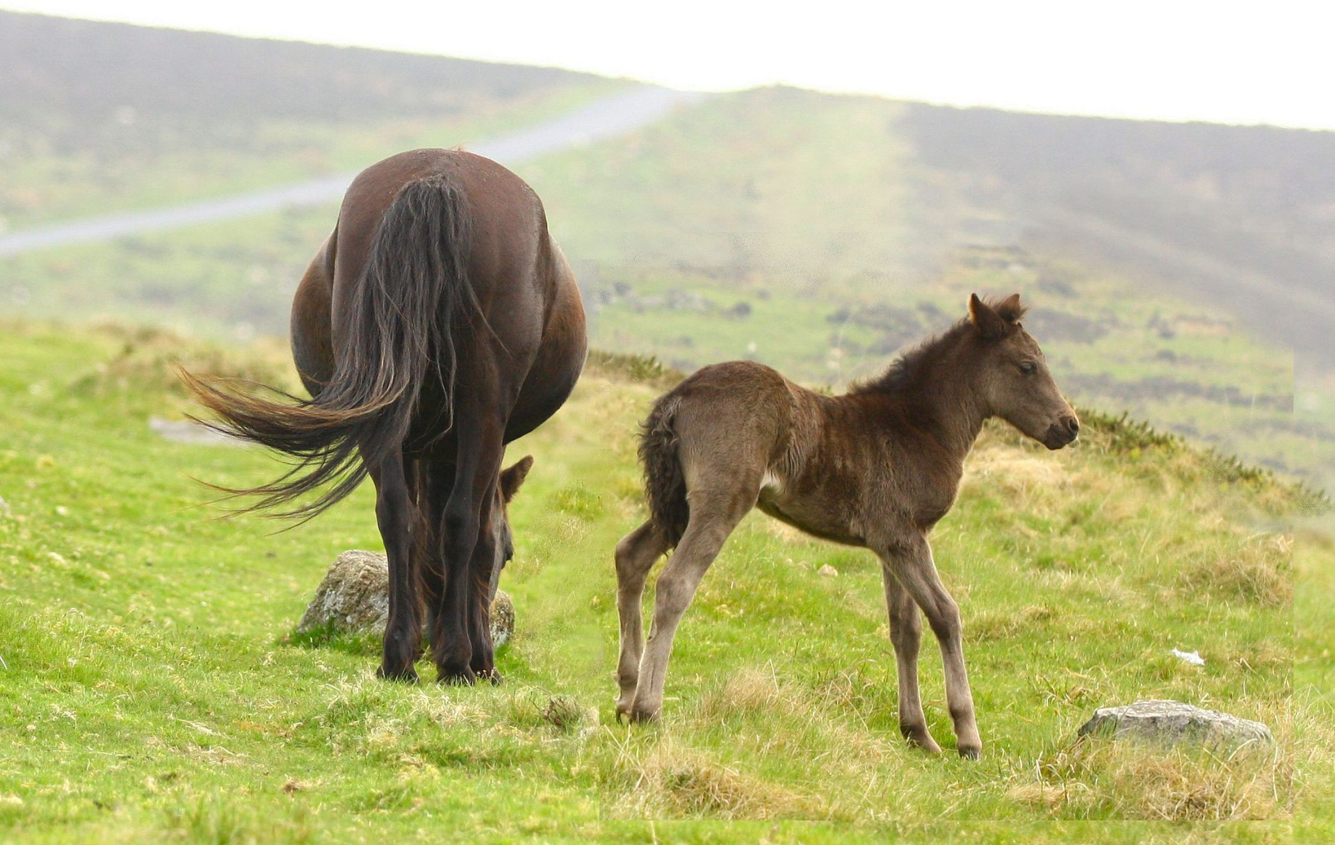 MOUSE OVER PICS TO VIEW LONGER.The biggest attraction on Dartmoor are the wild ponies.