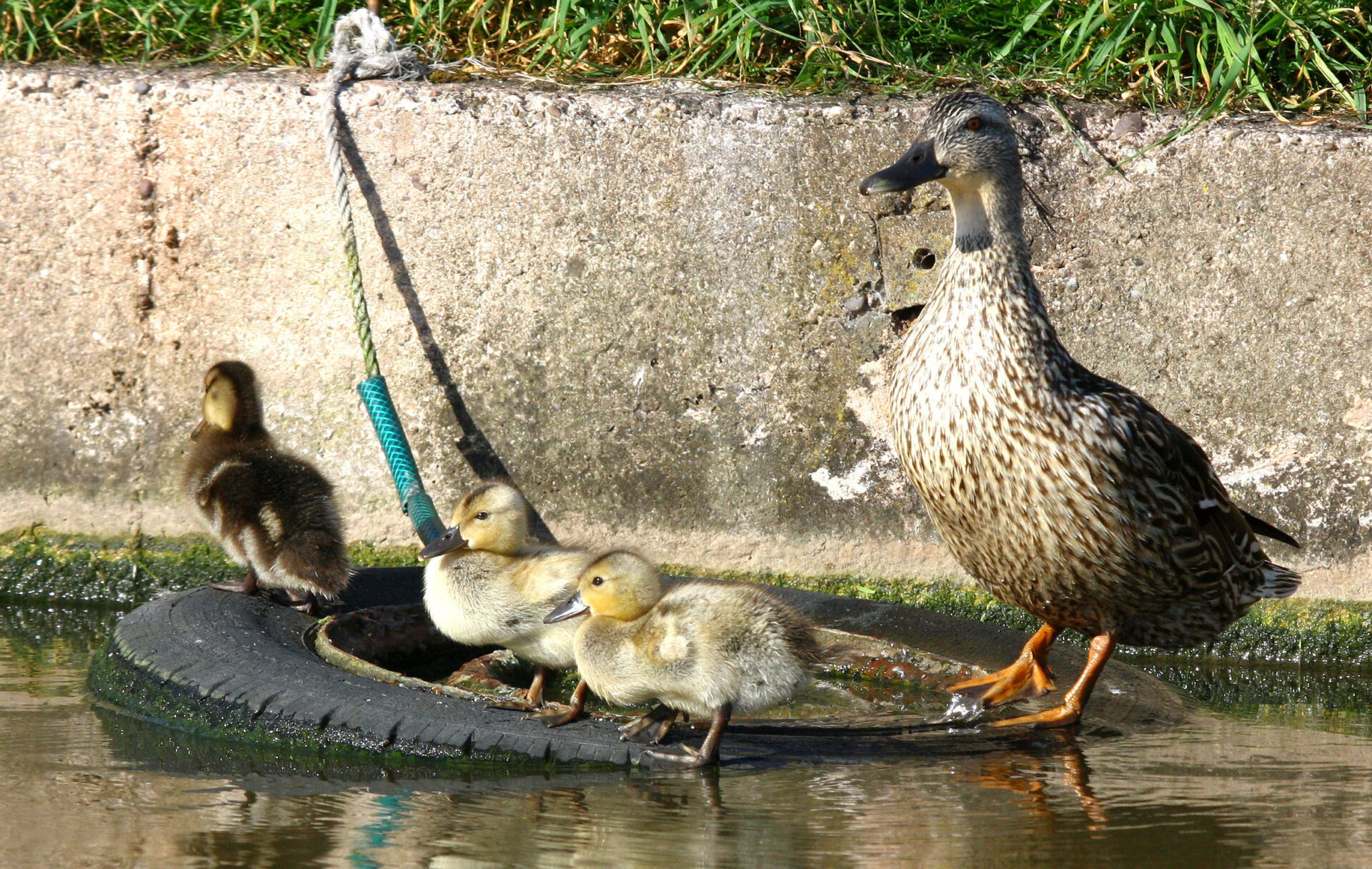 Home Sweet Home. Mallards make good Mothers. I love 'em. MORE PICS IN THE GALLERY below left.