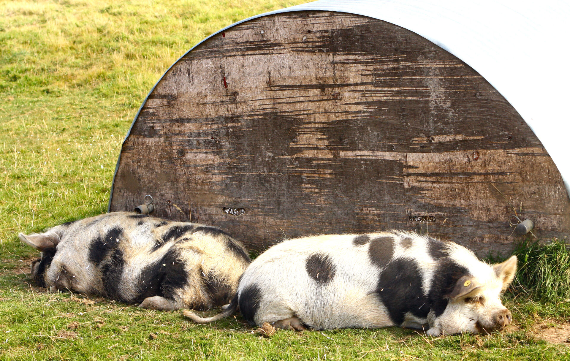 2 Kune-Kune pigs. Pets at the Mill End Hotel......