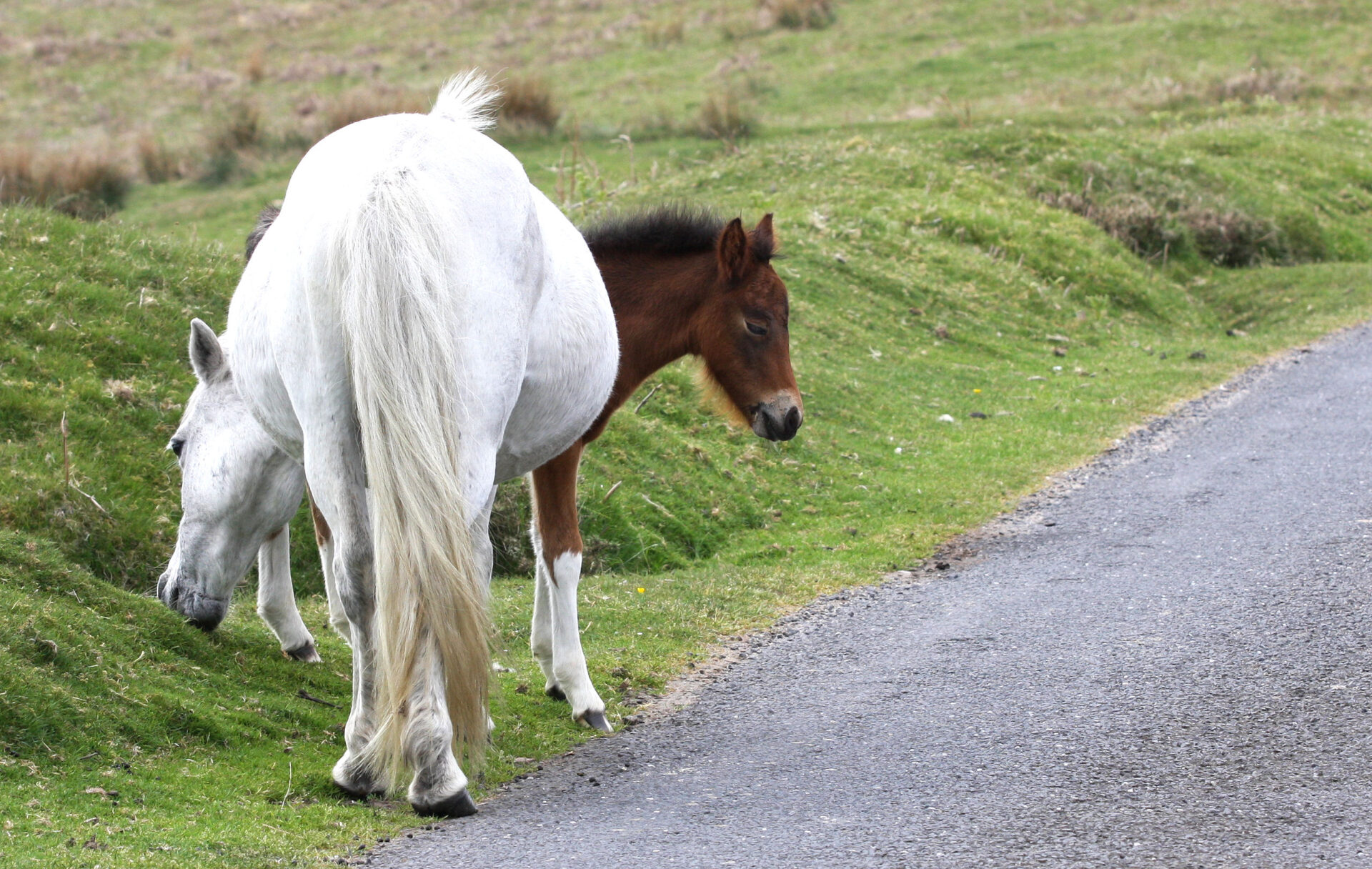 MOUSE OVER A PHOTO TO VIEW FOR LONGER.  New ponies need us all to drive slowly on the Moor.