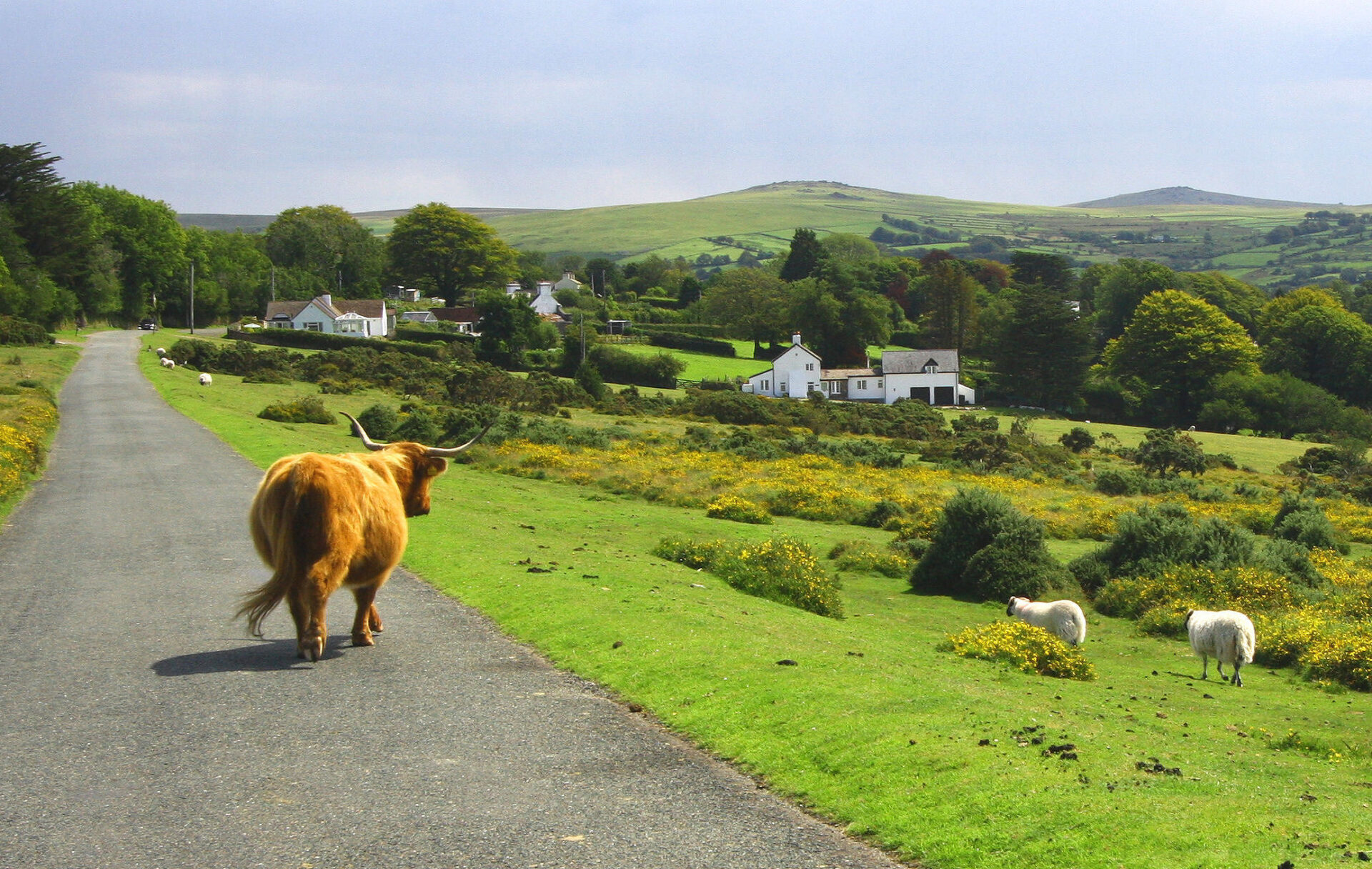 Plus wild cattle, sheep and stunning moorland views. this road is on a local bus route.....