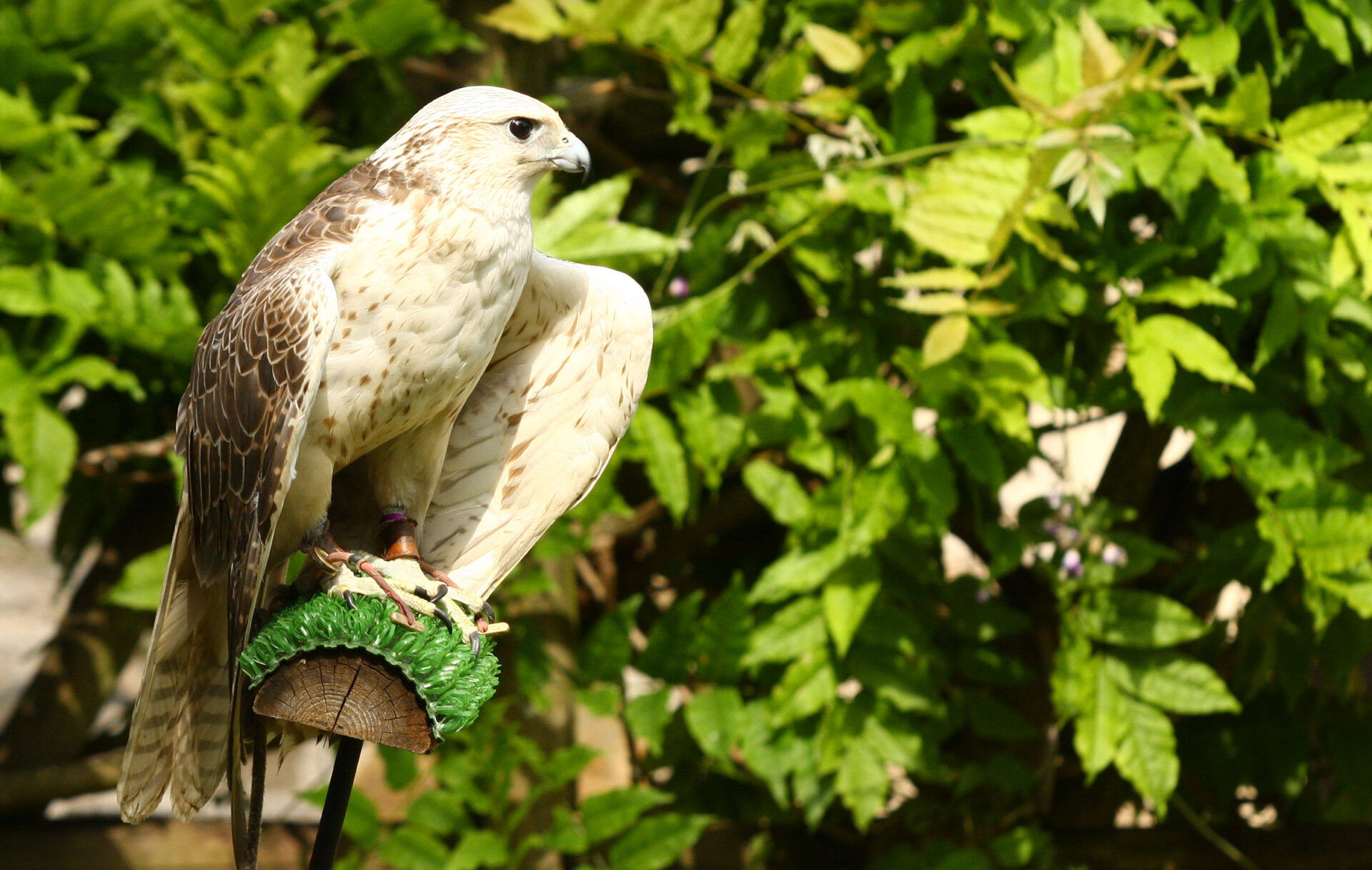 HOLD YOUR MOUSE OVER A PIC TO STOP IT. Bird of prey, River Dart Country Park. Please e-mail me if you know which.
