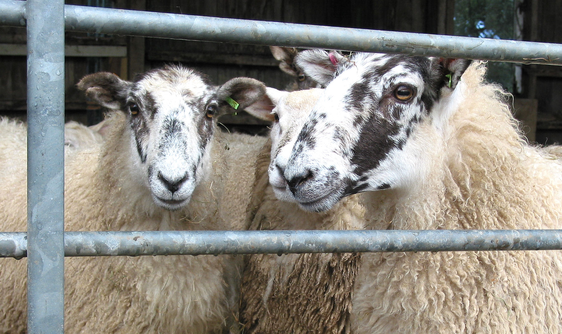 Sheep in a pen on Dartmoor, waiting their turn to be sheared. Or is it shorn ?